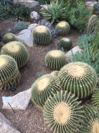 Barrel Cactus in the Princess of Wales Conservatory