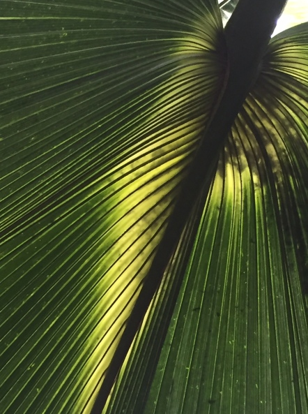 Bermuda palmetto in the Palm House