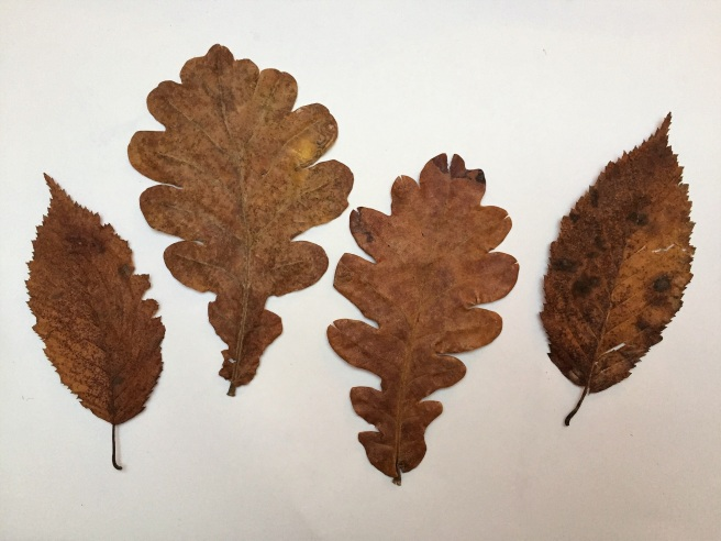 Leaves collected from the Woburn estate