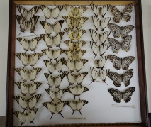 Butterfly specimens, from the National Museum Cardiff Entomology collections