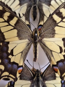 Swallowtail Butterfly Close up. Pinned and dried specimens from the National Museum Cardiff Entomology Collections