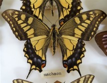 Swallowtail butterfly, papilio machaon.